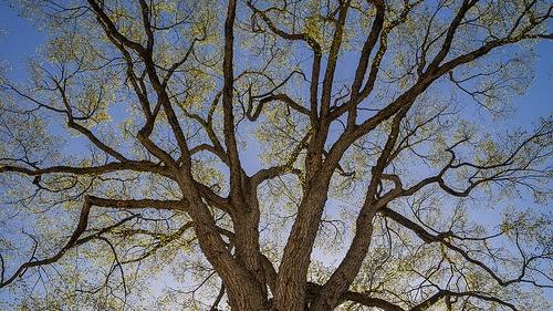 elm tree in spring sky